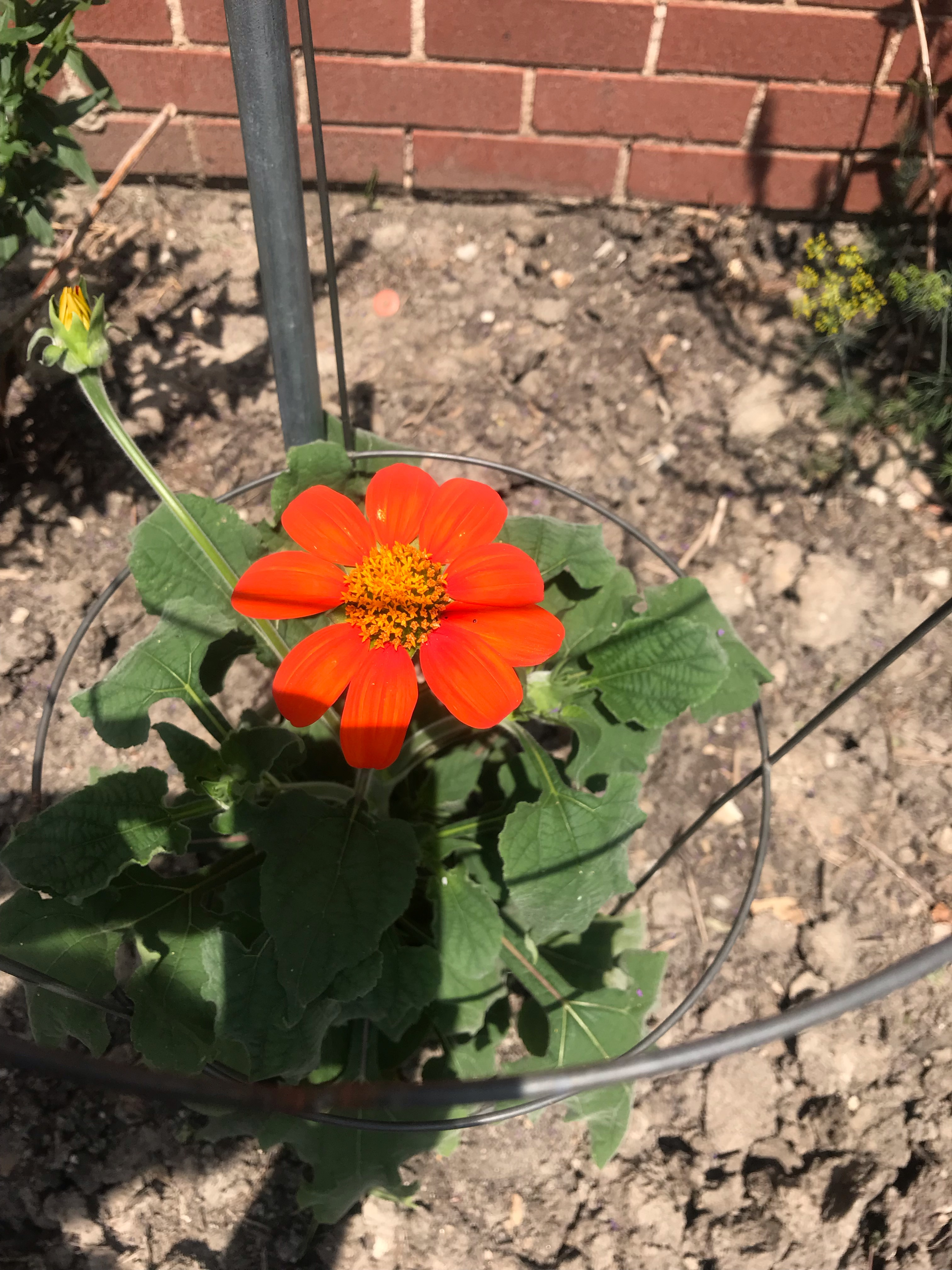 Tithonia Torch aka Mexican Sunflower